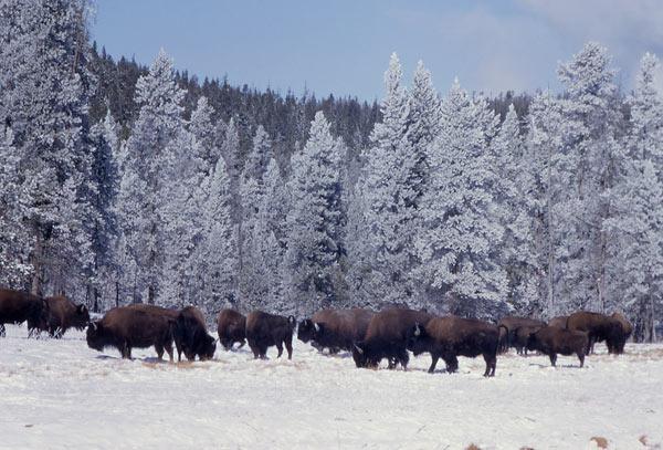 bison-02
