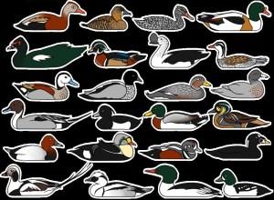 BookOfKnowledge-ducks