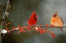 BirdDay-cardinals