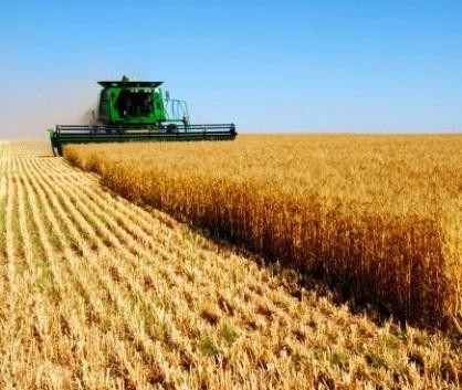 Wheat-02
