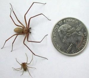 spider-02brownrecluse