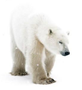 PolarBearDay-02