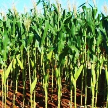 corn-02