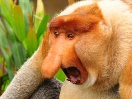 monkeyday-03proboscismonkey